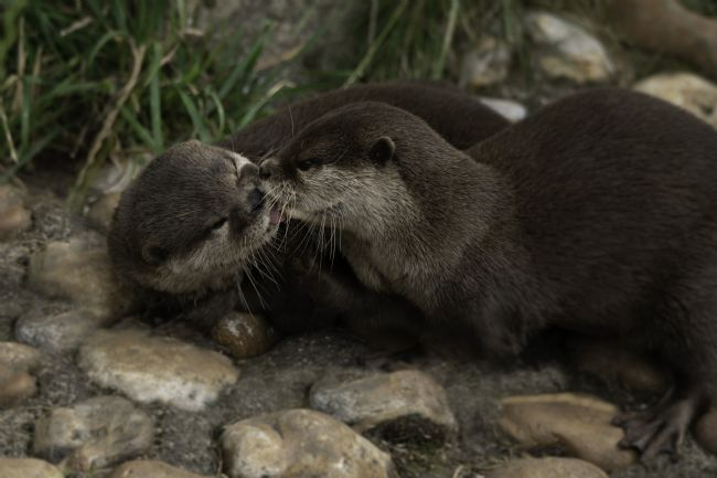 rawshutterbug  | Kissing Otters