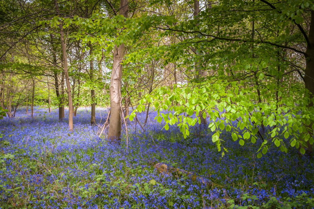Stephen Mole | Blue bells in Norfolk