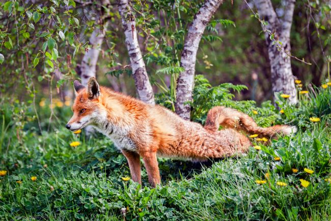 Stephen Mole | Red Fox 1