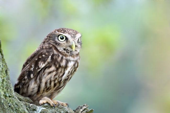 Stephen Mole | Little Owl