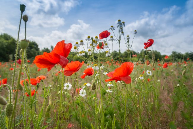 Stephen Mole | Norfolk Poppies