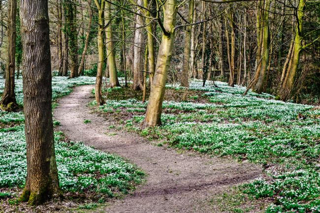 Stephen Mole | Snow Drops in Norfolk