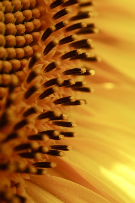 Roz Collins | Sunflower Abstract Part 3