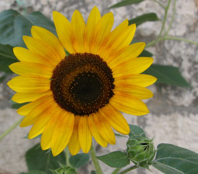 Roz Collins | Sunflower in Croatia