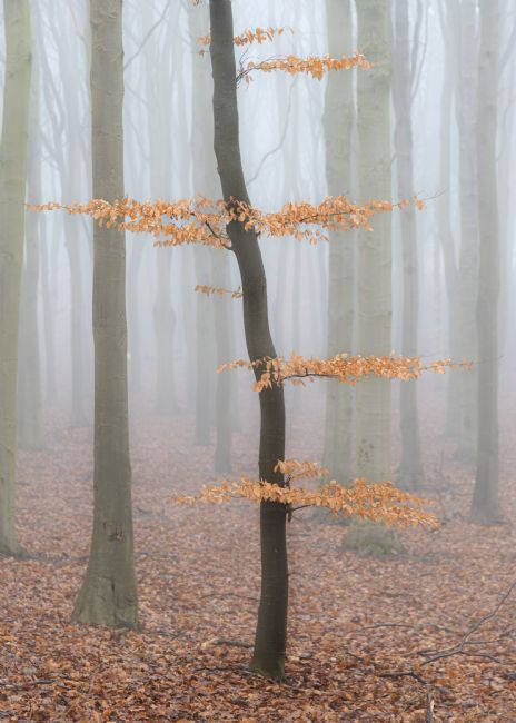 Richard Burdon | Misty Beech Wood