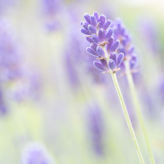 Richard Burdon | Lavender