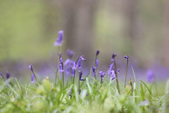 Susan Snow | Cotswolds Bluebell Wood