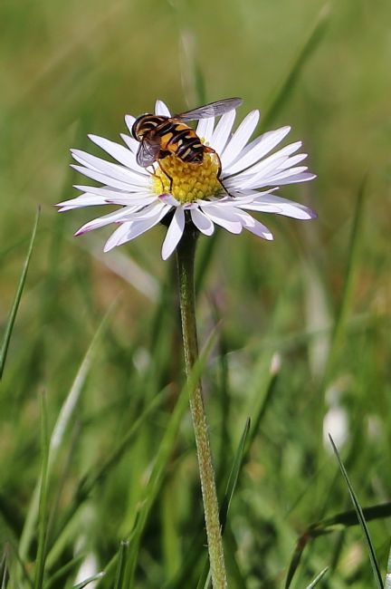 Susan Snow | Hoverfly on a Daisy