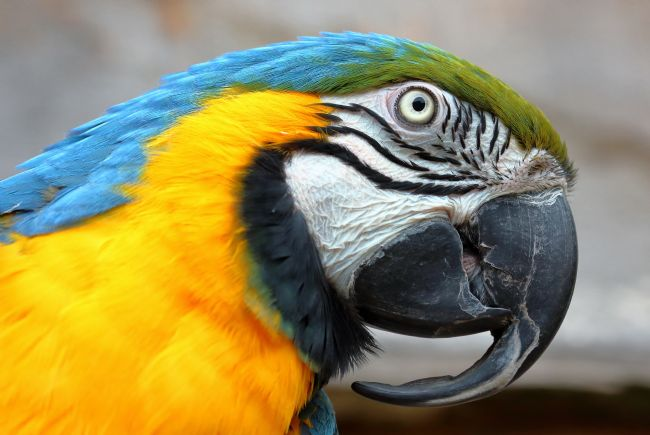 Susan Snow | Blue and Gold Macaw Parrot