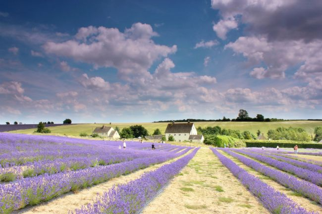 Susan Snow | Lavender field in the Cotswolds