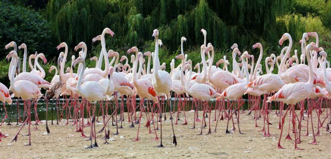 Susan Snow | Greater Flamingos