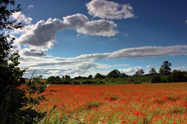 Susan Snow | Bewdley Poppy field