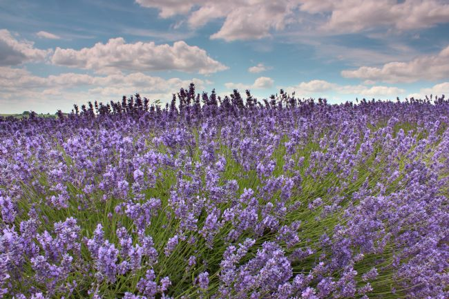 Susan Snow | Lavender in the Cotswolds