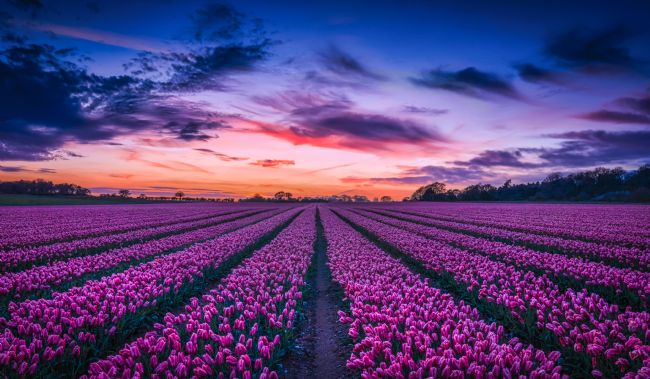 Jan  Murphy | Sunset over the Tulip Field