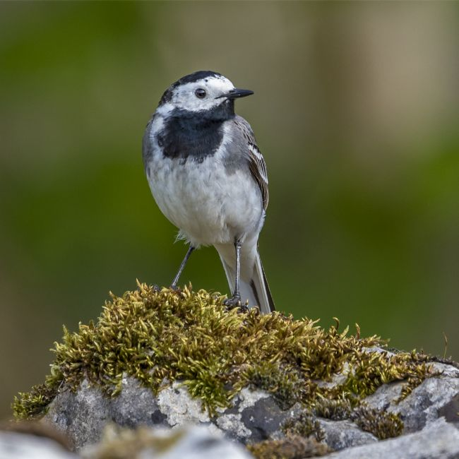 Pete Lawless | Pied Wagtail