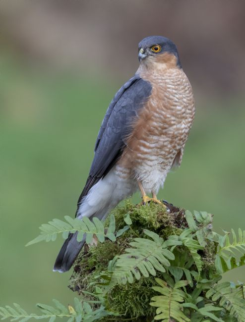 Pete Lawless | Male Sparrowhawk