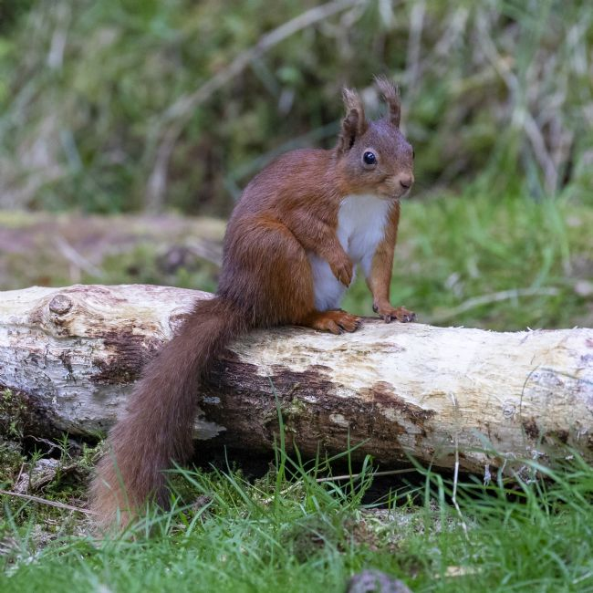 Pete Lawless | Red Squirrel