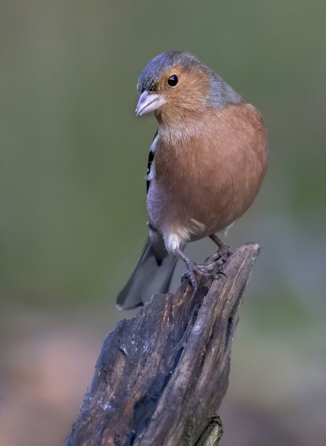 Pete Lawless | Chaffinch