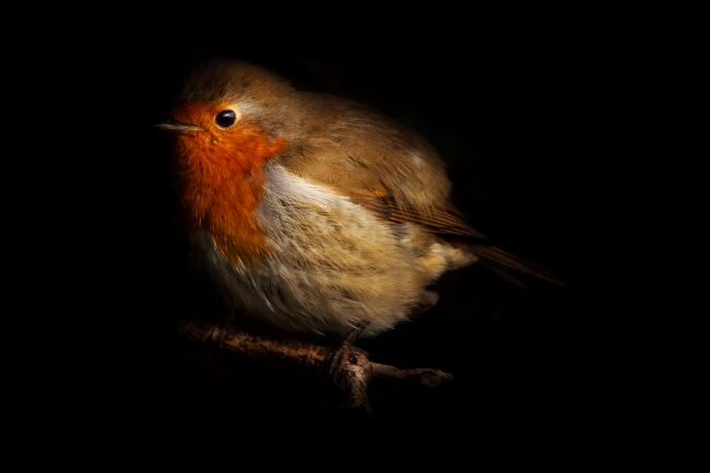 richard sayer | Red Breast