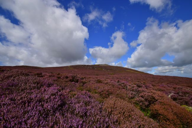 Robert Parsons | The Lake District: Heather on Carrock Fell