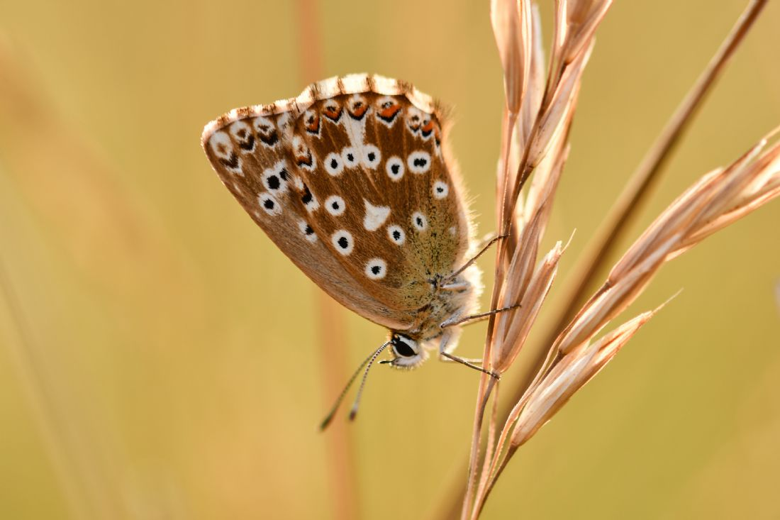 Mike Carroll | Chalkhill Blue Butterfly