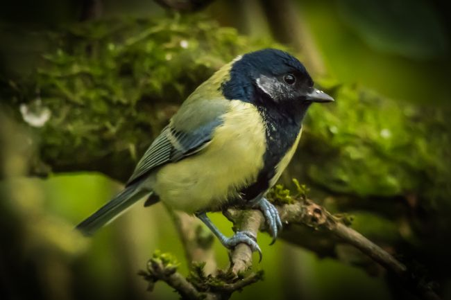 Mike Carroll | Black faced Great Tit