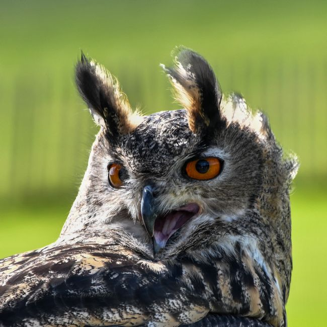 Mike Carroll | Eurasian Eagle Owl