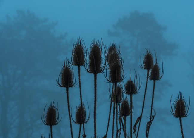 Mike Carroll | Teasels in the Mist
