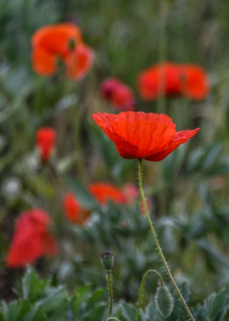 Mike Carroll | Panshanger Poppies (1)