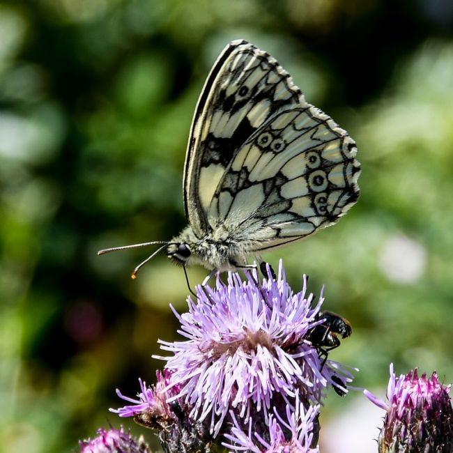 Mike Carroll | Marbled White Butterfly