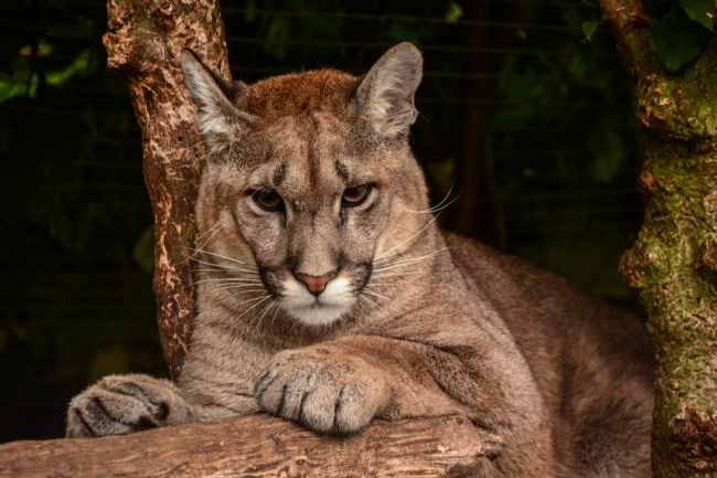 Mike Carroll | South American Puma