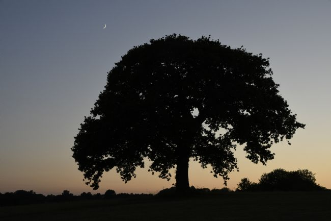 Mike Carroll | Oak tree silhouette