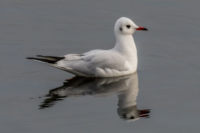 Mike Carroll | Black Headed Gull Reflections
