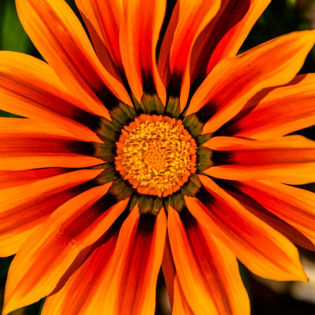 Mike Carroll | Stunning Gazania Flower