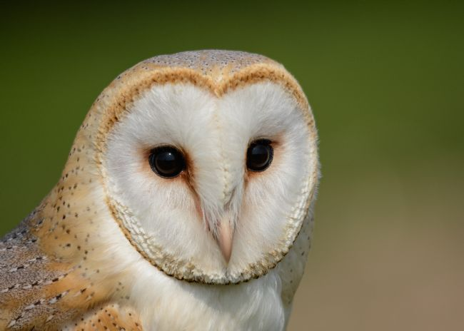 Mike Carroll | Barn Owl