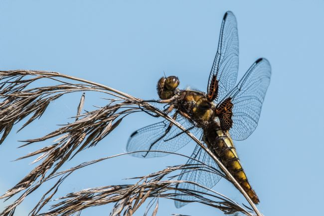 Mike Carroll | Broad-bodied Chaser Dragonfly