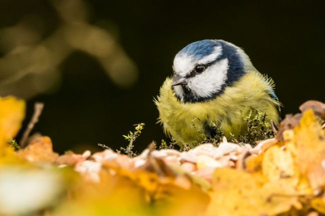 Mike Carroll | Fluffy Blue Tit