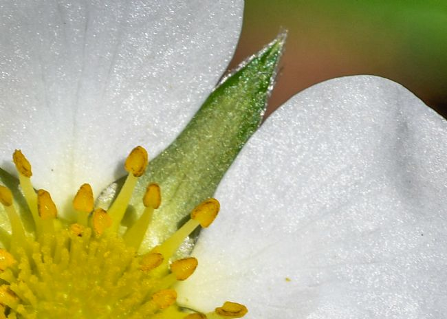 Mike Carroll | Strawberry Flower Macro
