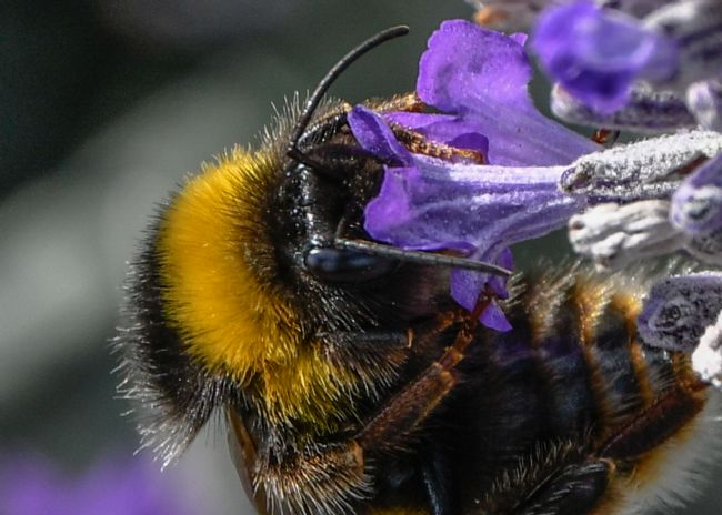 Mike Carroll | Bumble Bee Macro (2)