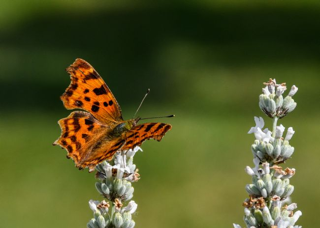 Mike Carroll | Comma Butterfly (3)