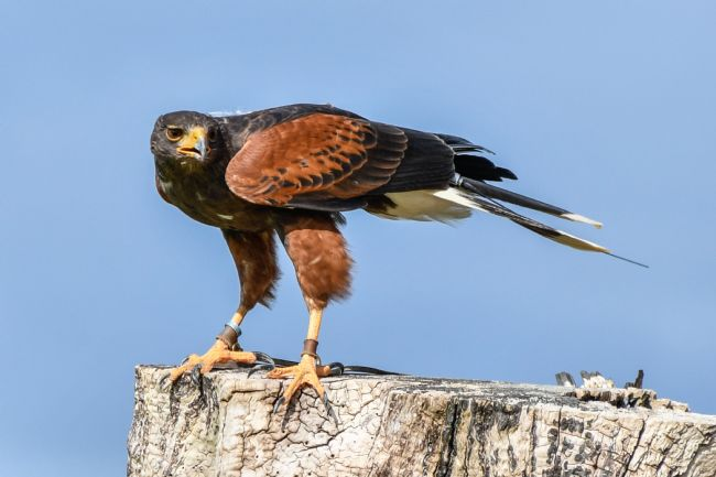 Mike Carroll | Harris Hawk