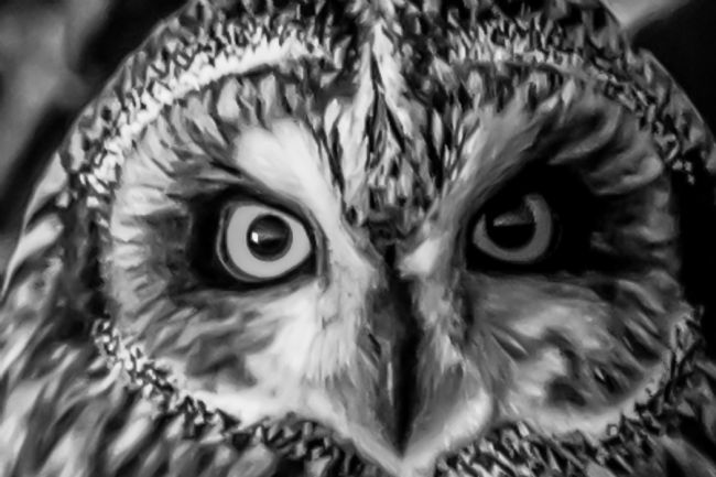 Mike Carroll | Short eared Owl close-up - charcoal effect