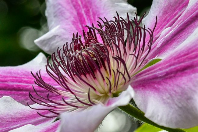 Mike Carroll | Clematis Nelly Moser, Macro