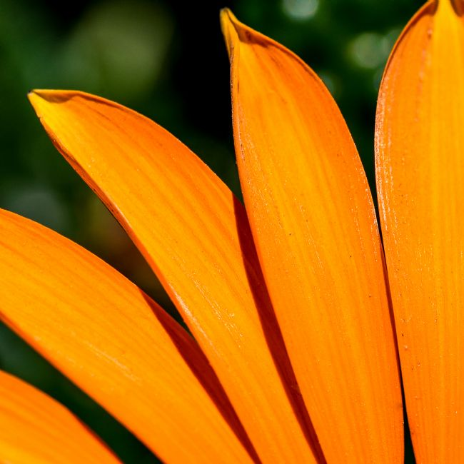 Mike Carroll | Gazania