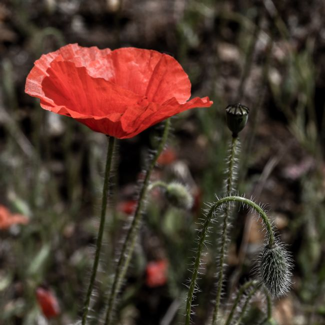 Mike Carroll | Panshanger Poppies (3)