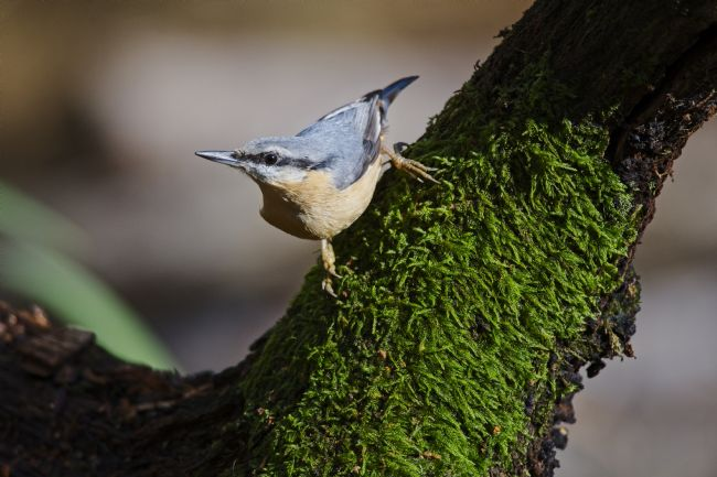 Simon Rigby | The Nuthatch