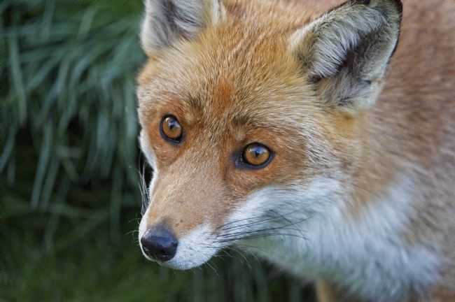 Simon Rigby | Red Fox