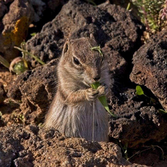 Simon Rigby | Ground Squirrel