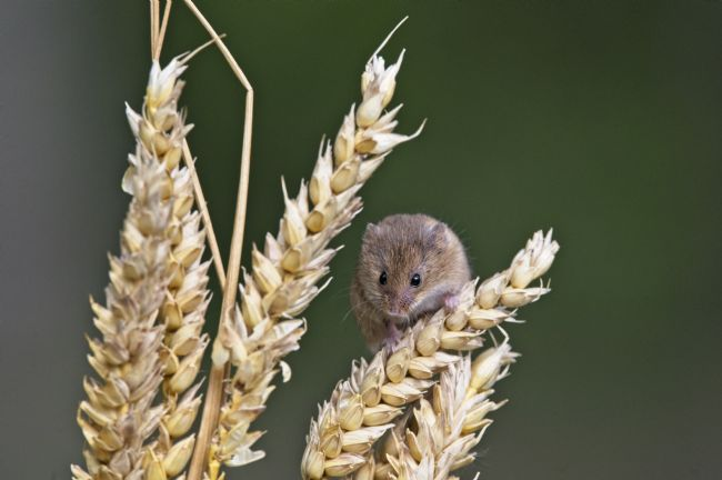 Simon Rigby | Harvest mouse on wheat