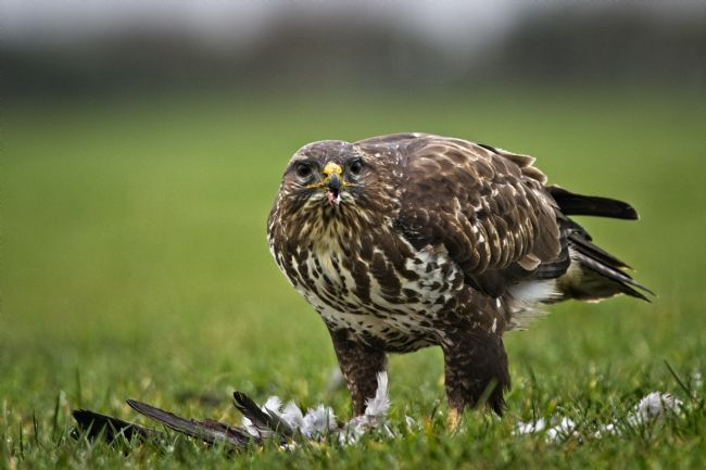 Simon Rigby | Common Buzzard